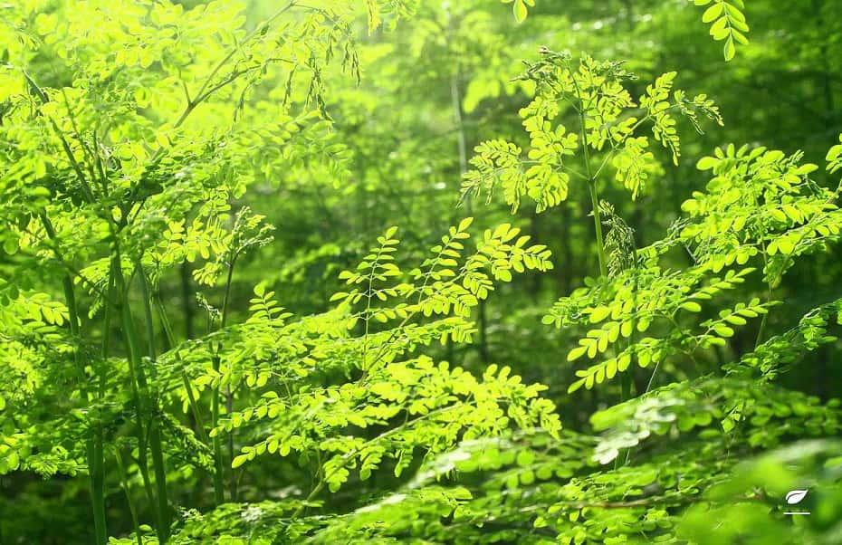 Wirkung der Moringa Pflanze